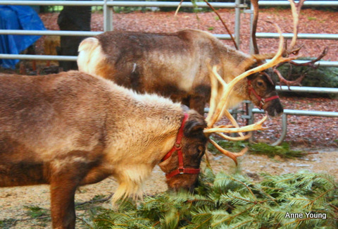 reindeer, reindeer eating