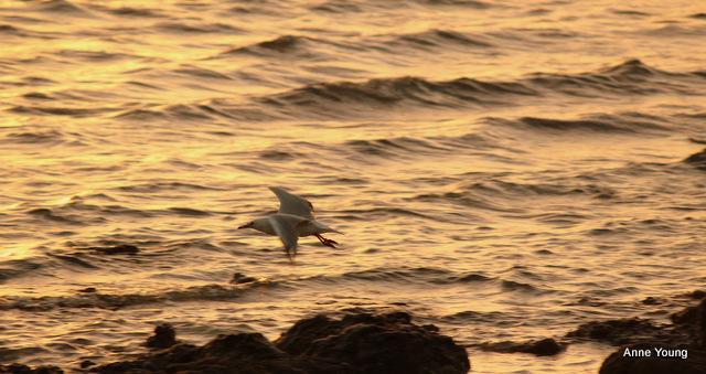seagull, dusk