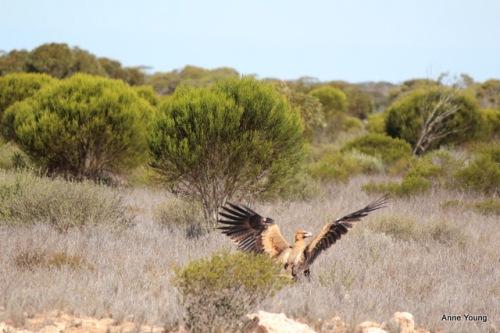 Australia, wedgetailed eagle, photograph, wedge-tail eagle